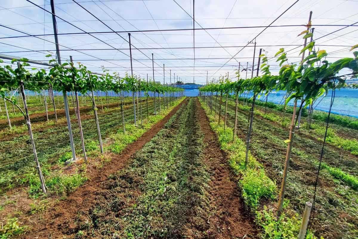 千葉県船橋市にある鈴果園の梨栽培風景